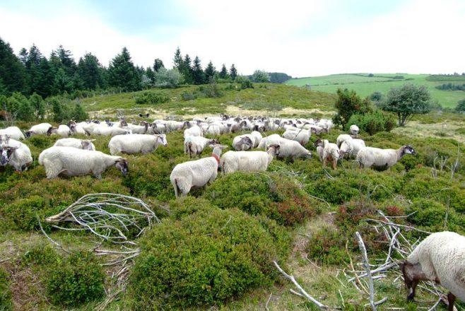 Troupeau de moutons dans la lande a myrtilles