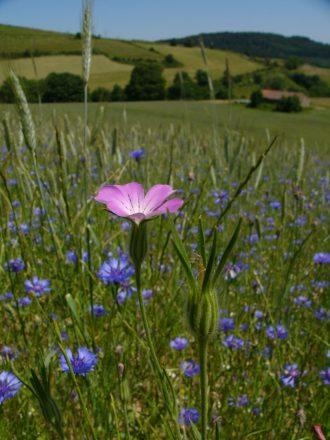 Nielle des bles et bleuets dans un champ de cereales