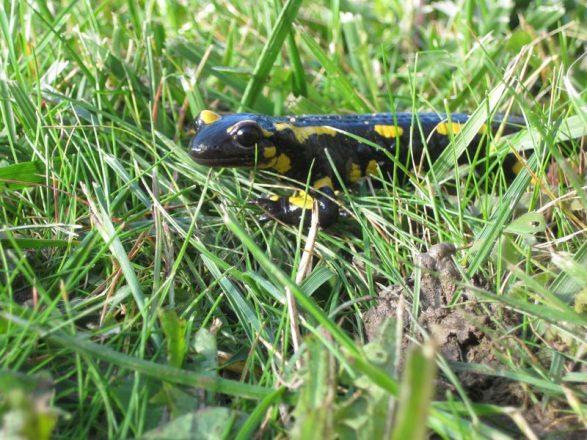 Salamandre tachetee