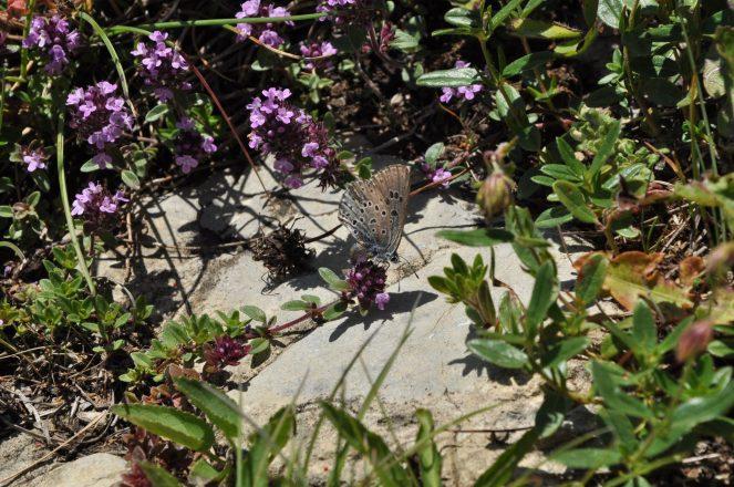 Azuré du serpolet femelle pondant sur une fleur de serpolet