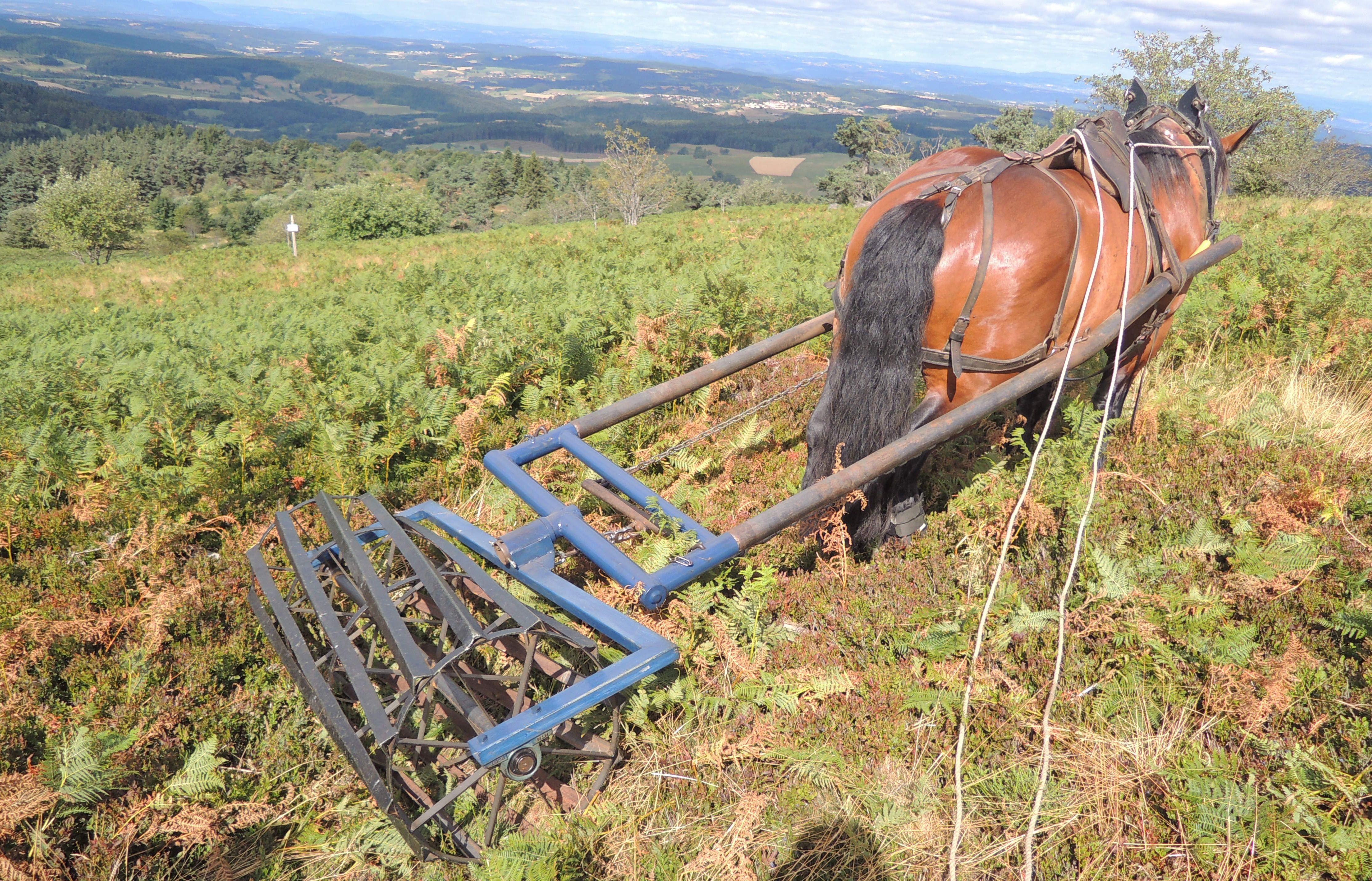 Lutte contre les fougeres dans un parc de paturage a Chaussitre avec passage d'un rouleau tracte par un cheval.